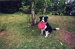Dog toy - Border collie pup with frisbee