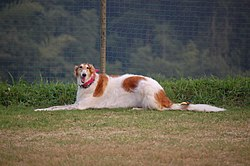Borzoi red and white.jpg