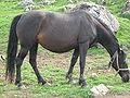 Bosanski brdski konj.JPG