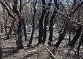 Bosque Encantado, Parque nacional de Garajonay, La Gomera, España, 2012-12-14, DD 20.jpg