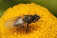 Botanophila.fugax2.-.lindsey.jpg