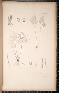 240px botany. cryptogamia. filices, including lycopodiaceae and hydropterides (1854) (19783885084)