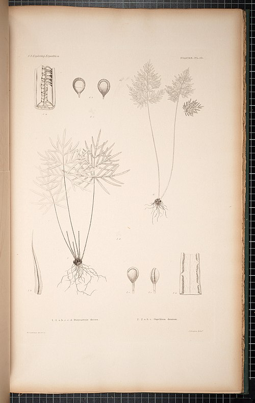 500px botany. cryptogamia. filices, including lycopodiaceae and hydropterides (1854) (19783885084)