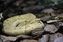 Bothrops insularis.jpg