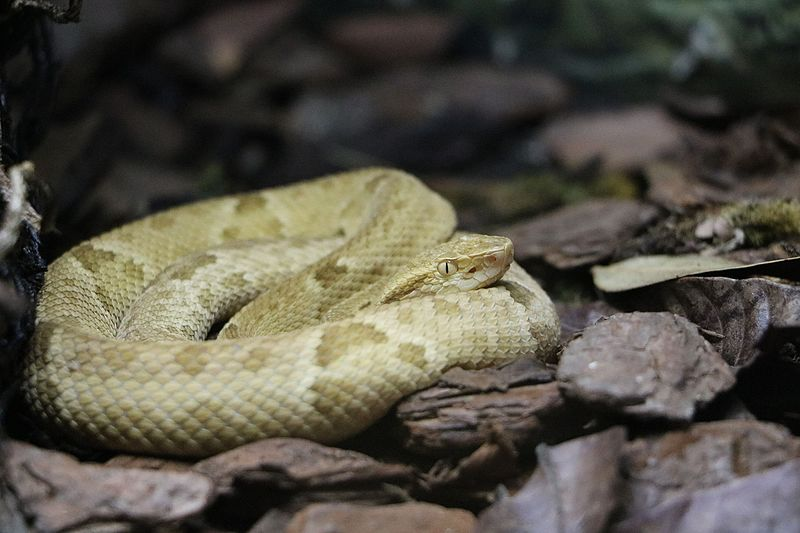 File:Bothrops insularis.jpg