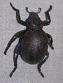 Brachycerus apterus 1.jpg