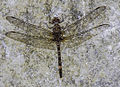 Bradinopyga conuta Horned Rockdweller male 1.jpg