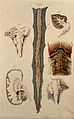 Brain and spinal cord; six figures showing various portions. Wellcome V0008407.jpg
