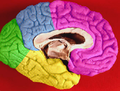 Brain lobes - medial surface without limbic lobe.png