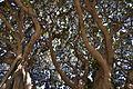 Branques dels ficus de la plaça de Gabriel Miró, Alacant.JPG