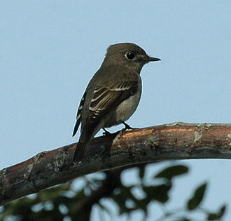 Asian brown flycatcher - Mai Po, Hong Kong