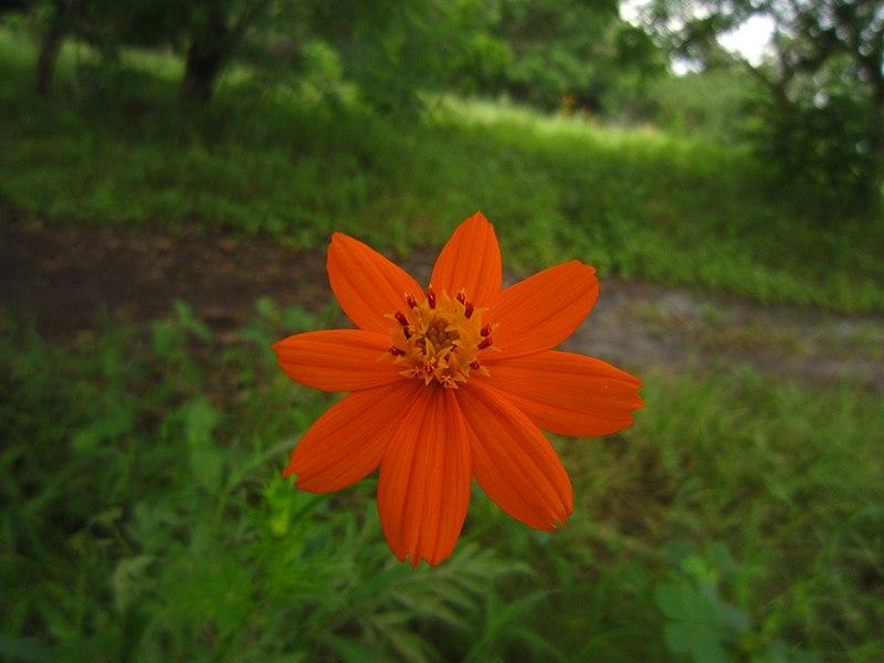 Bright orange flower 1.JPG