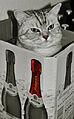Brittisch Kurzhaar Kater in Rotkäppchen Kiste.jpg