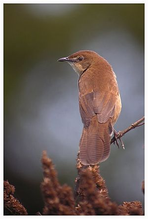 Broad-tailed grassbird - Image: Broad tailed Grassbird