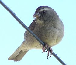 Brown-rumped Seedeater-1.jpg