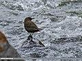 Brown Dipper (Cinclus pallasii) (45225650322).jpg