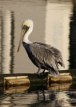 Brown Pelican3.jpg