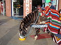 Brown Tijuana Zebra.JPG
