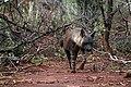 Brown hyena, Jaci's Lodges, Madikwe (23994470393).jpg