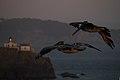 Brown pelicans in Marin Headlands (50946).jpg