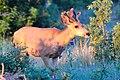 Buck with Velvet (5499986216).jpg