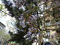 Bucuresti, Romania. Clopoteii Copacului Violet.JPG