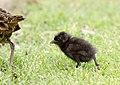 Buff-banded Rail chick (Gallirallus philippensis) (36761960344).jpg