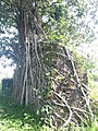 Bunce Island Fortress Wall with Branches.jpg