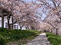 Bunsui Sakura 002 April2020.jpg