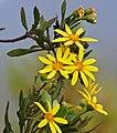 Bush Tickberry (Chrysanthemoides monilifera) (32781346476).jpg