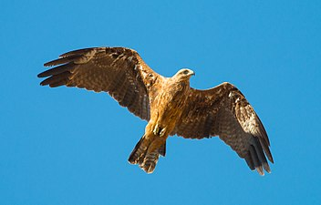 Buteo buteo in flight, Dudaim.3, Israel.jpg