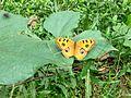 Butterfly of Bangladesh 09.jpg
