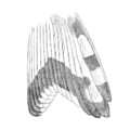 CBBM15 004 Geositta poeciloptera.png