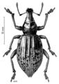 COLE Curculionidae Oclandius laeviusculus.png