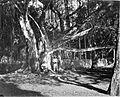 COLLECTIE TROPENMUSEUM Een waringinboom in de tuin bij het paleis van de Gouverneur-Generaal in Buitenzorg. TMnr 60002079.jpg
