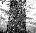 COLLECTIE TROPENMUSEUM Gomuitvloeiing uit de bast van acacia decurrens TMnr 10012543.jpg
