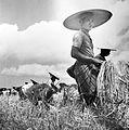COLLECTIE TROPENMUSEUM Mannen en vrouwen bezig met de rijstoogst Bali TMnr 10011132.jpg