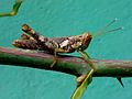 Caelifera genus Grasshopper at Madhurawada 02.jpg