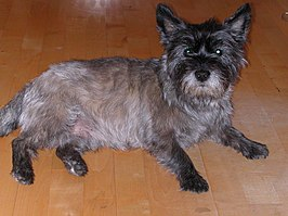 Cairn-Terrier-Ferry1.JPG