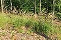 Calamagrostis arundinacea kz10.jpg