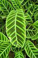 Calathea zebrina kz3.jpg