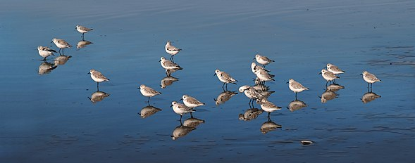 Calidris alba at Ocean Beach, San Francisco, California - 20101116.jpg