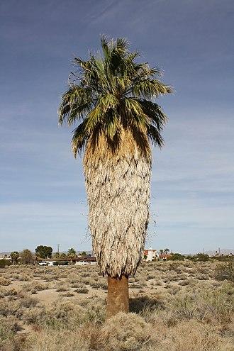 Washingtonia - Image: California fan palm 01
