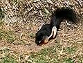 Callosciurus prevostii -Temaiken Zoo-8a.jpg