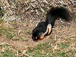 Prevost's squirrel - Image: Callosciurus prevostii Temaiken Zoo 8a