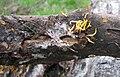 Calocera viscosa5.jpg