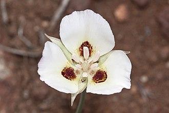 Calochortus dunnii - Image: Calochortus dunnii Flickr 005