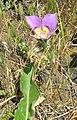 Calochortus macrocarpus - Flickr. 006.jpg