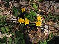 Caltha palustris L.jpg
