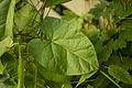 Calystegia sepium (20031182421).jpg